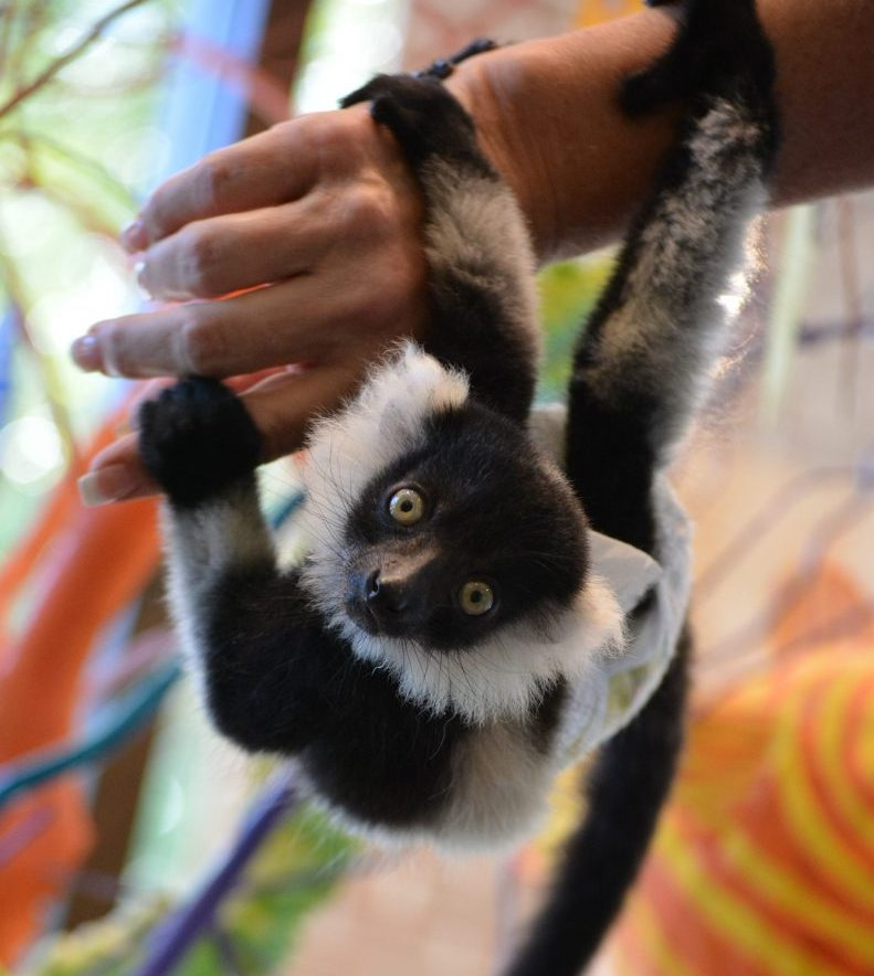 Lemur Fun-Fact FridayMuseum of Arts and Sciences